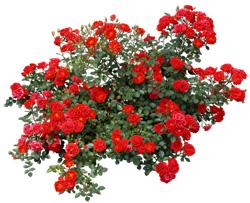 Посадка и уход за розами в Истре и Истринском райне